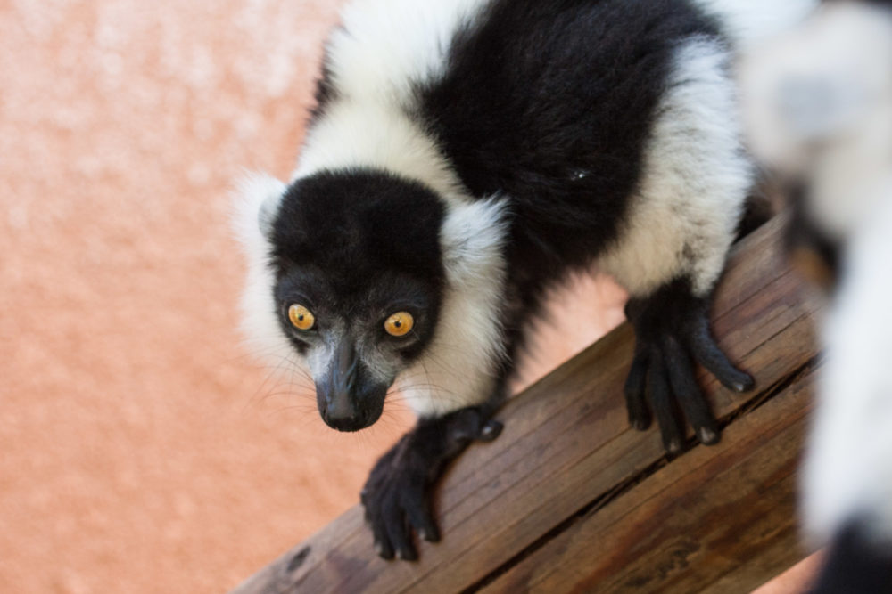 Black and White Ruffed Lemur staring intensely