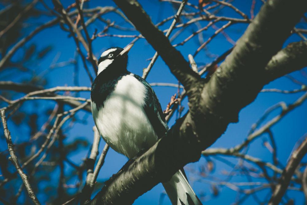 Magpie-lark - native Australian black and white bird perching on bare tree branch portrait closeup