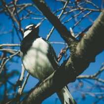 Magpie-lark - native Australian black and white bird perching on bare tree branch portrait closeup