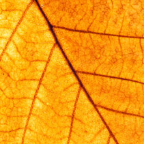 Yellow leaf closeup showing veins texture macro