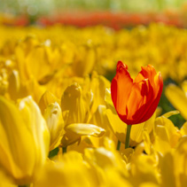 Red tulip stands out in the field of yellow tulips