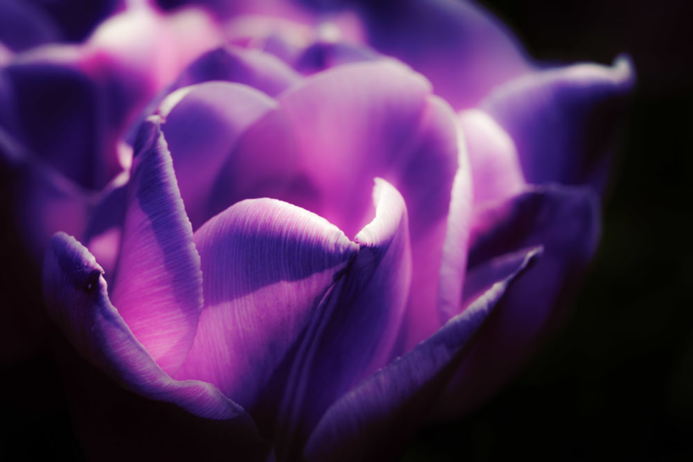 Closeup of purple tulip on dark background