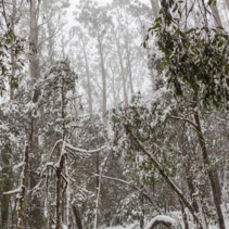 Snow covered eucalyptus trees in Australia