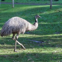 Native Australian Emu flightless bird portrait