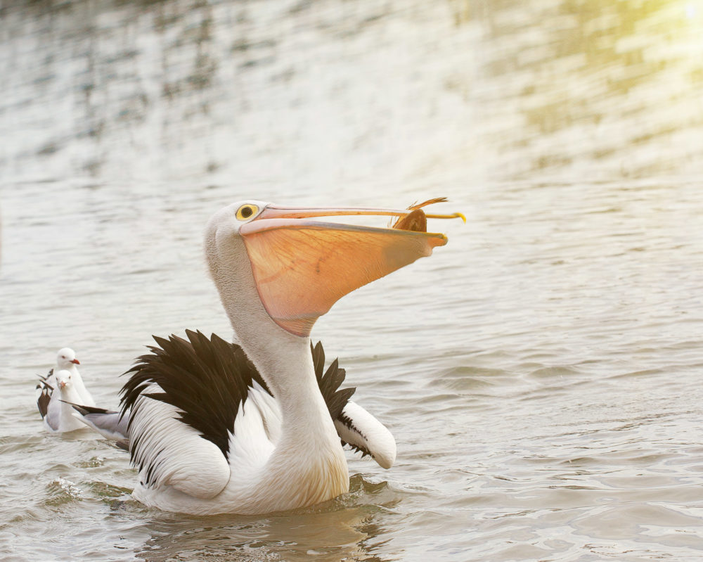 Pelican eating fish in the ocean.