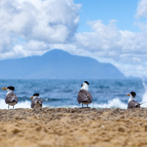 Beach nesting birds and seagulls closeup with ocean and mountain in the background on bright sunny day