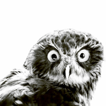 Portrait of Owl in black and white