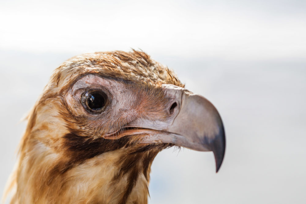 Wedge tailed eagle head closeup