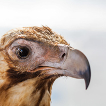 Wedge tailed eagle head closeup