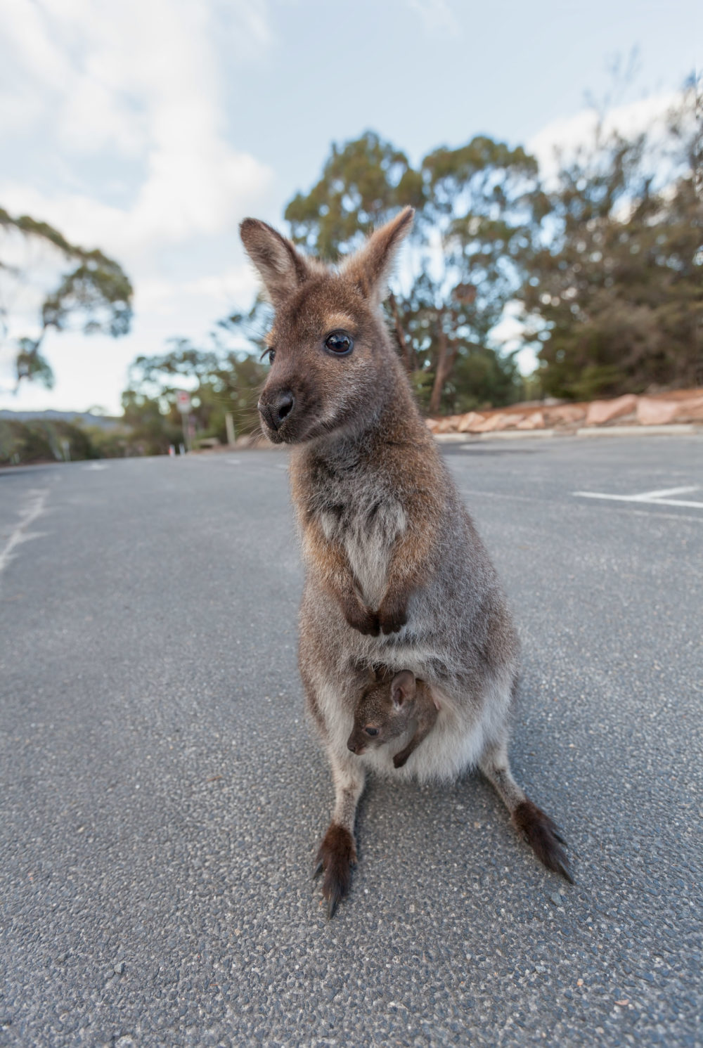 Bennet's wallaby with joey in the pouch portrait. Tasmania, Australia.
