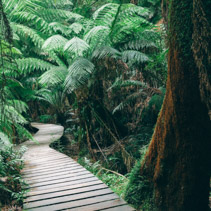 Winding boardwalk in Australian Rainforest