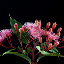 Elegant bouquet of pink Eucalyptus flowers, twigs, and leafs, isolated on black background