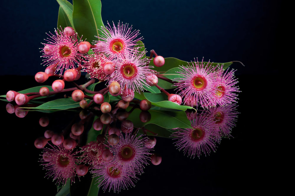 Elegant bouquet of pink Eucalyptus flowers, buds, and leafs, with reflection isolated on black background
