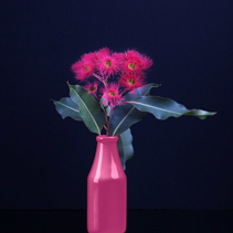 Elegant bouquet of vivid red Eucalyptus flowers in a pink vase isolated on black background