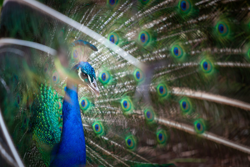 Closeup of peacock showing his tail