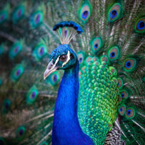Portrait of beautiful peacock - vertical image