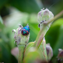 Extreme closeup of Hibiscus Harlequin Bug sitting on a plant