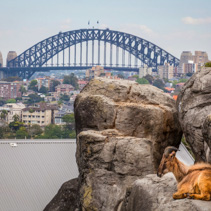 Mountain Goat resting on rocks with Sydney Harbour Bridge in the background