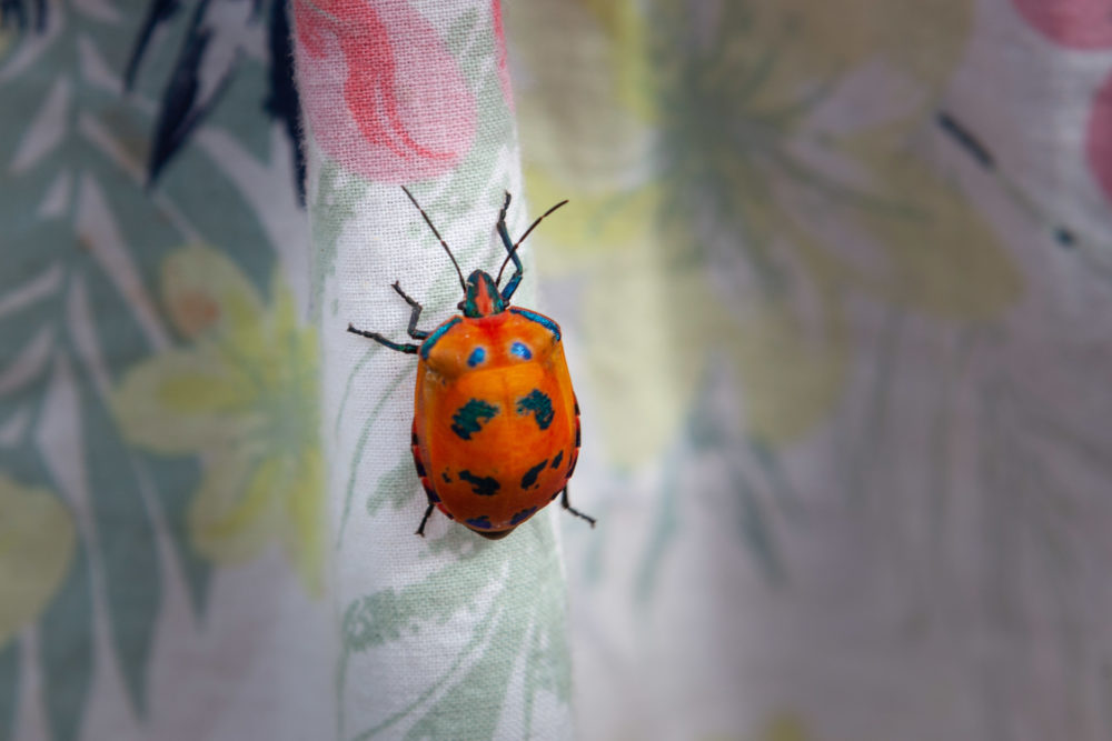 Hibiscus Harlequin Bug crawling up colorful cloth with copy space