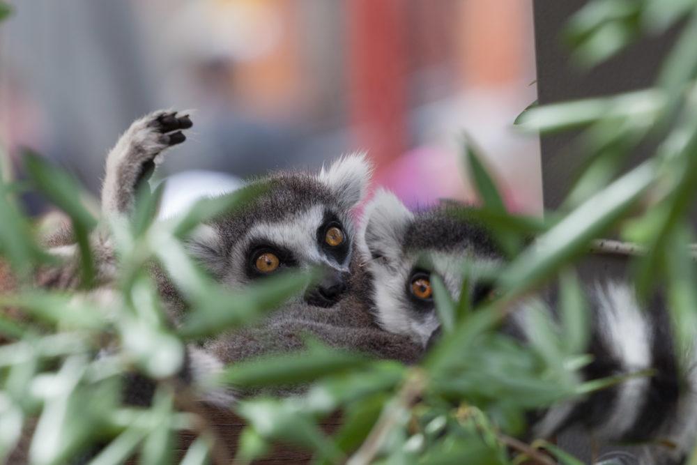 Ring tailed lemurs hiding in bush