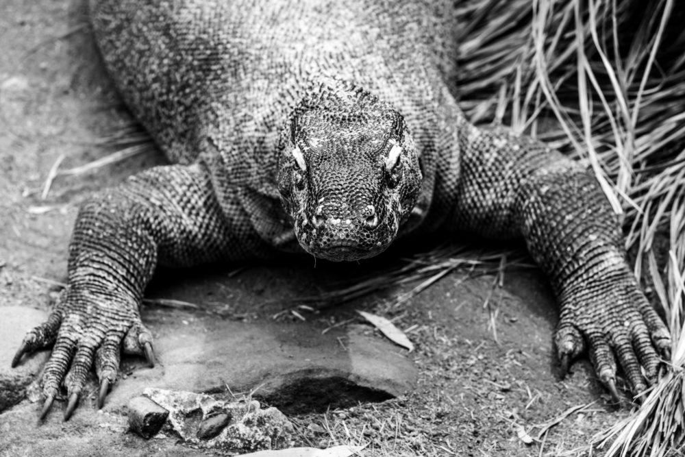 Extreme closeup of Komodo Dragon lizard in black and white