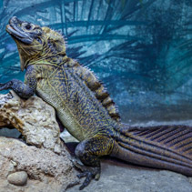 Sailfin Lizard resting on rocks