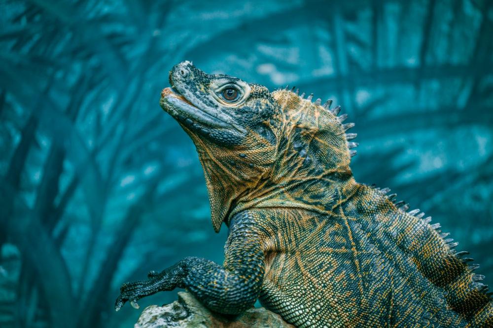 Sailfin Lizard portrait on blurred background