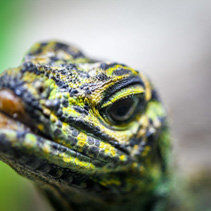 Sailfin Lizard looking straight into the camera - extreme closeup with focus on foreground