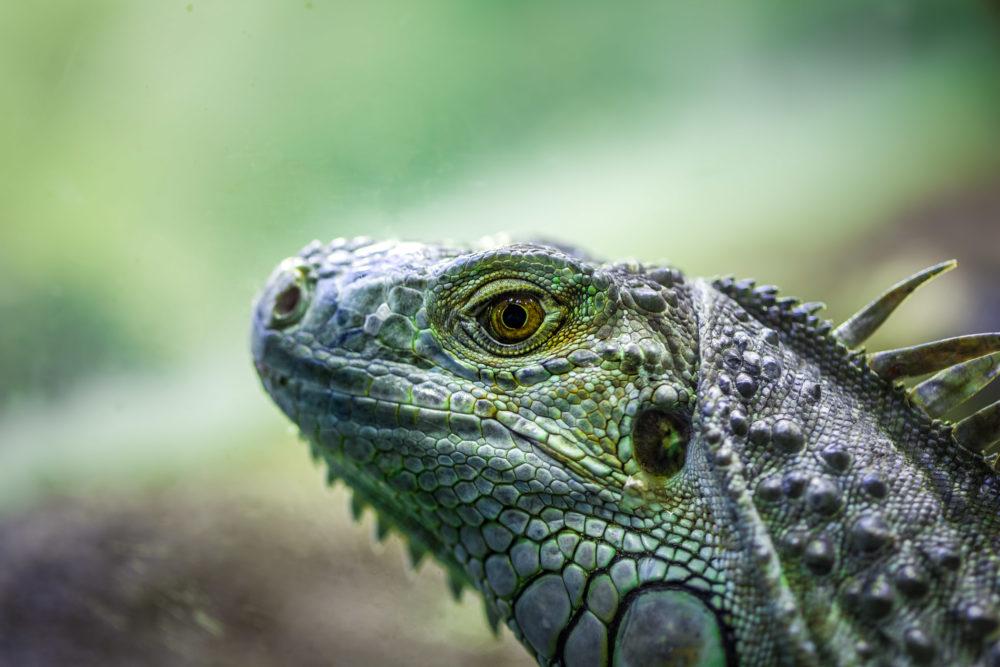 Iguana lizard portrait - extreme closeup on blurred background