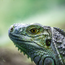 Iguana lizard portrait - extreme closeup on blurred background