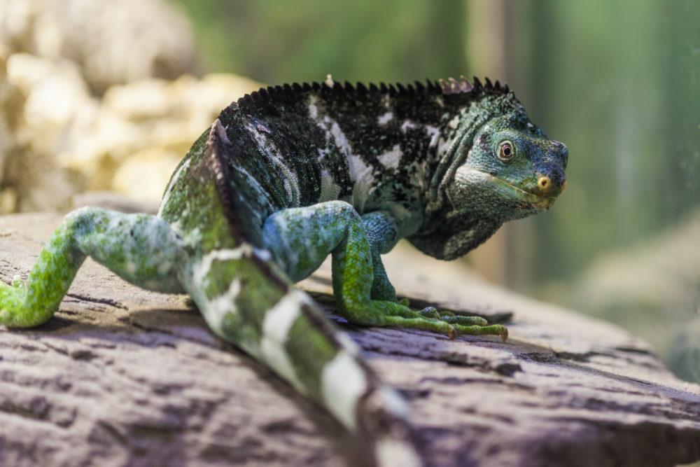 Fiji Island Crested Iguana - Critically endangered species