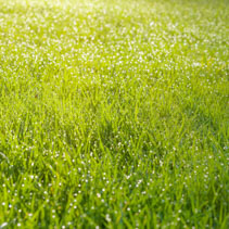 Wet grass field with dew drops bathing in morning sunlight. Shallow depth of field