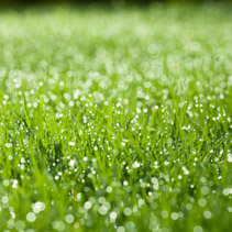 Extreme closeup of green wet grass with dew drops bathing in morning sunlight. Shallow depth of field.