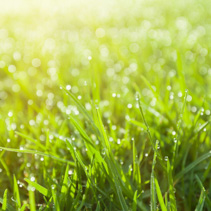 Extreme closeup of green wet grass with dew drops and stunning bright sun flare. Shallow depth of field.