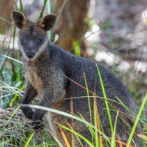 Pademelon - native Australian marsupial mammal
