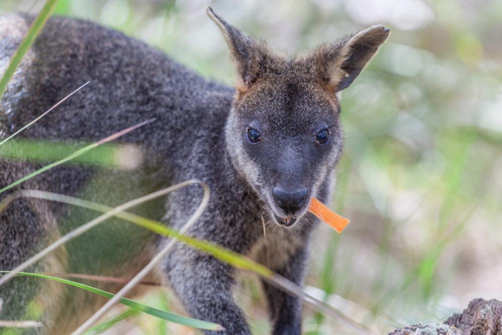 Pademelon eating- native Australian marsupial mammal