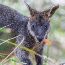 Pademelon eating- native Australian marsupial mammal