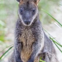 Closeup of Pademelon - native Australian marsupial