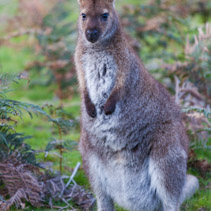 Bennett's Wallaby among ferns in Tasmania, Australia