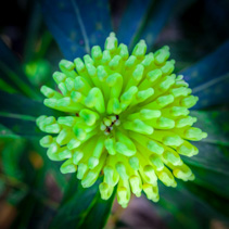 Beautiful green Waratah flower extreme closeup
