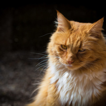 Ginger suspicious cat portrait