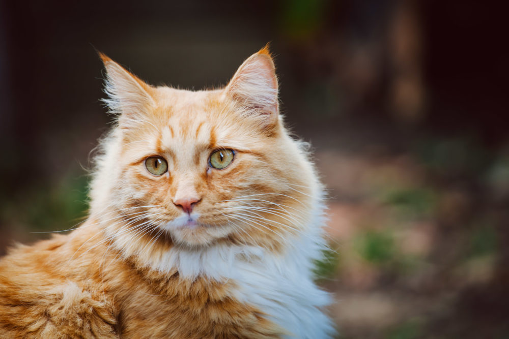 Ginger cat portrait with copy space