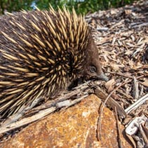 Echidna hunting for ants