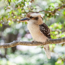 Beautiful portrait of Laughing Kookaburra on blurred greenery background