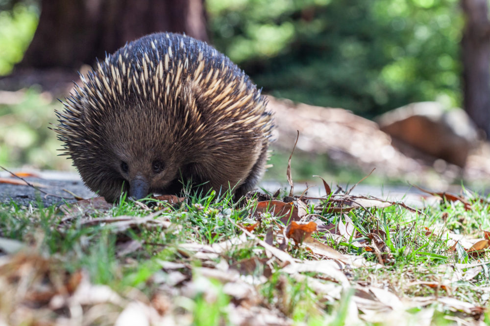 Portrait of echidna on blurred background