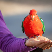 Red green king parrot perching on human female hand