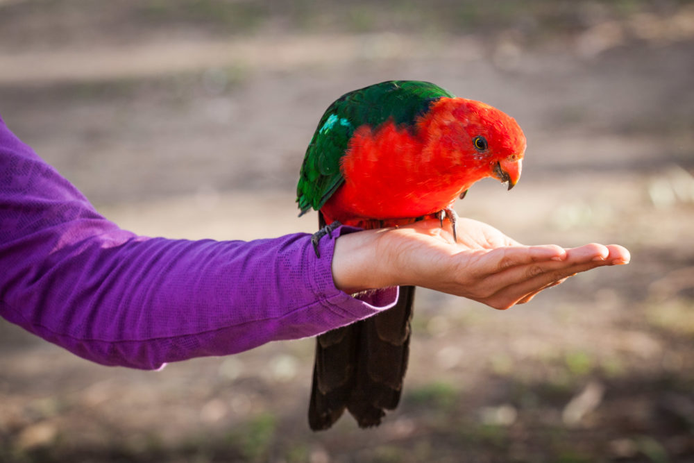 King parrot perching on human female hand