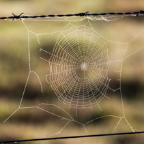 Cobweb on barbed wire fence
