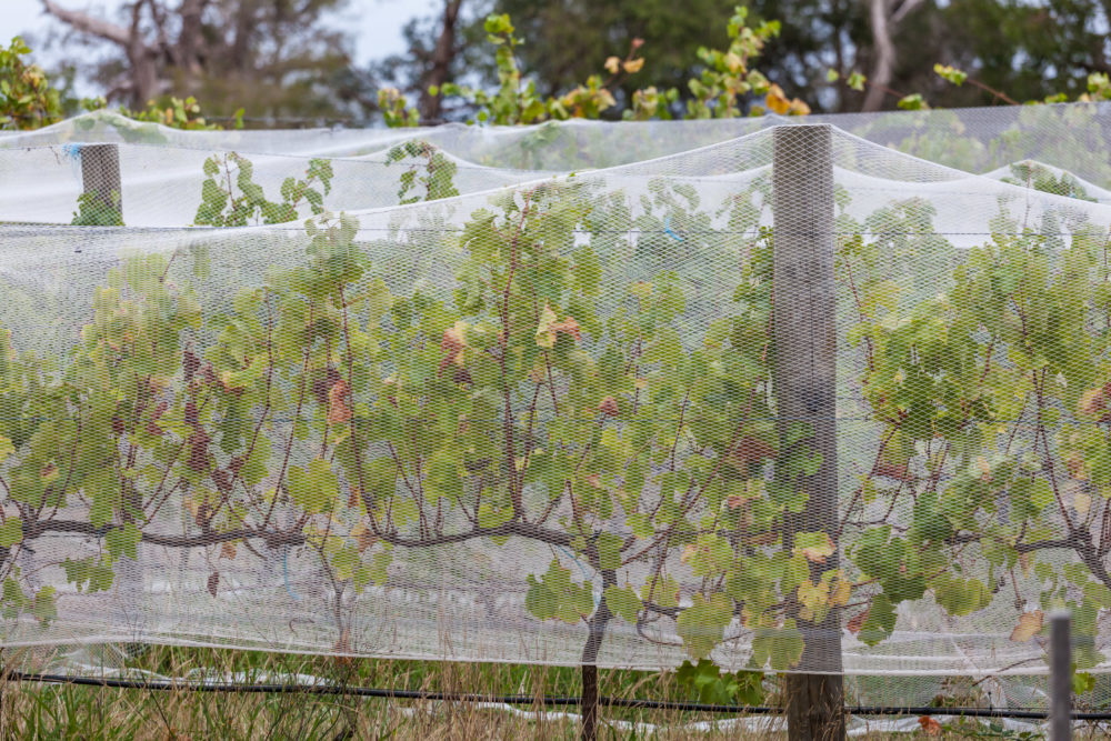 Vines covered with bird netting