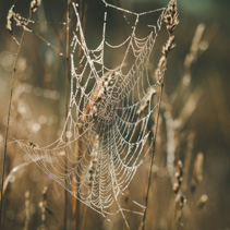 Cobweb with dew drops shining in the sun
